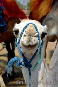 Sympatyczny wielbłądek, Marrakesz Menara