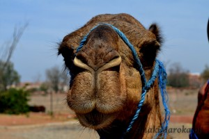 Pan wielbłąd :)